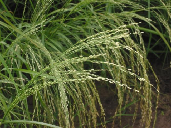 Planta de teff. Fuente: Wikipedia.