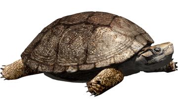 Reconstrucción de la tortuga /Polysternon isonae/, a partir de los restos fósiles encontrados en Isona  (Cataluña). Óscar Sanisidro.