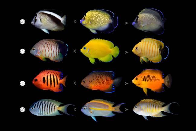 Varias especies de peces ángel