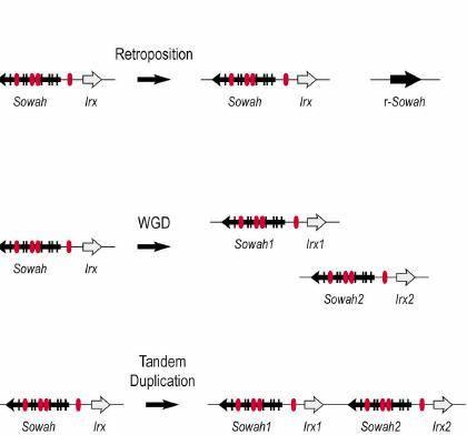 El trabajo investigador, centrado en el ámbito de la arquitectura genómica, se basa en el estudio del gen Sosondowah.