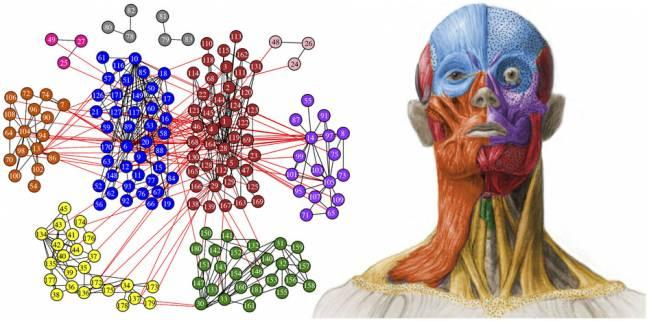 Imagen de torso humano que diferencia en diversos colores los módulos de la cabeza  identificados a través de AnNa, donde se incorporan huesos, músculos y cartílagos. Figura de Christopher Smith.