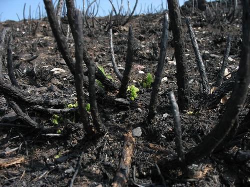 Restos de un árbol tras un incendio en Galicia.