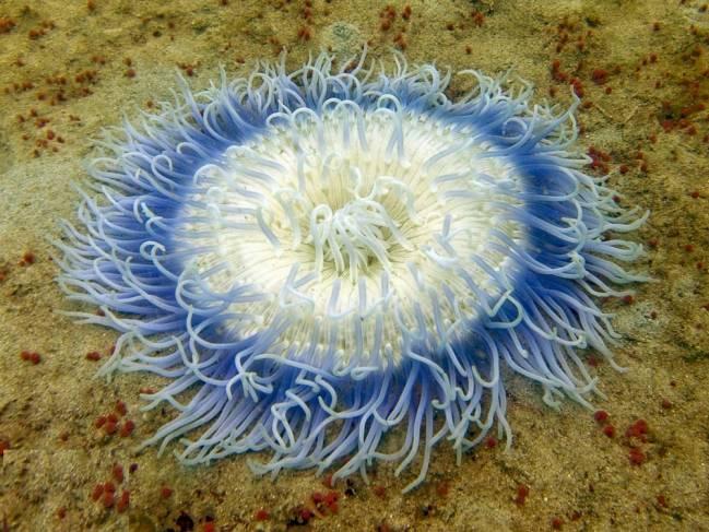 La anémona de mar esconde su veneno