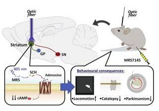 El fotofármaco MRS7145 es efectivo en modelos animales de la enfermedad, según la investigación publicada en la revista Journal of Controlled Release.