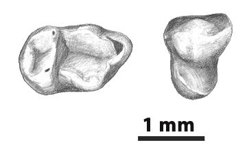 Dibujo de dos de los dientes de Pseudoloris cuestai encontrados en Mazaterón. Marta Palmero. ICP