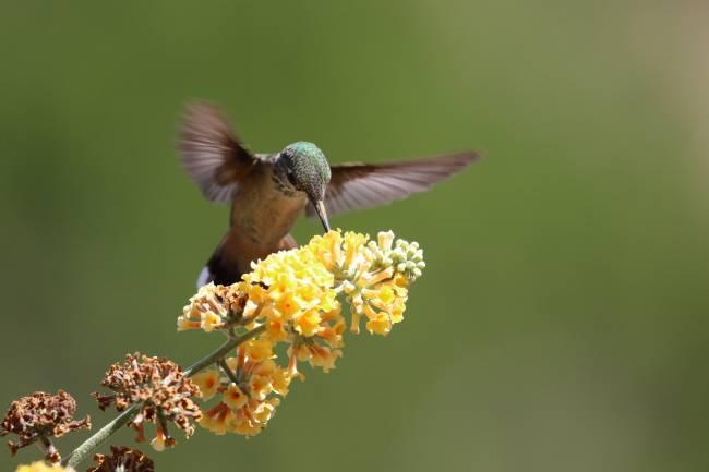 Un colibrí poliniza una flor