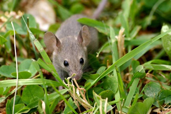 El mecanismo de control se había registrado previamente en ratones / Braydawg.