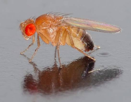 Drosophila Melanogaster Protocols. / Wikipedia