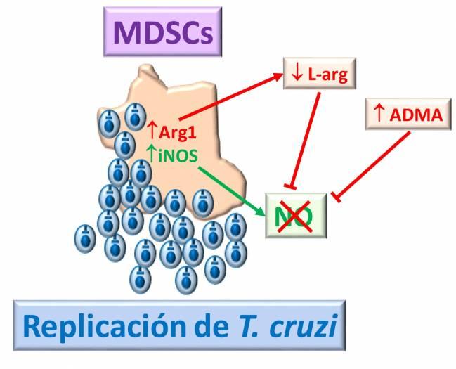 Diagrama que explica la inhibición de iNOS durante la infección por Trypanosoma cruzi.