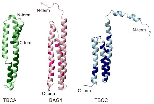 Proteína TBCC.