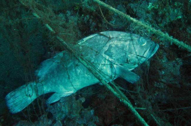 Las artes de pesca enrocadas en los fondos marinos son auténticas redes «fantasma» que continúan capturando organismos durante muchos meses (imagen: Bernat Hereu, UB-IRBio)