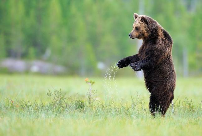 Oso Europeo / Rewilding Europe