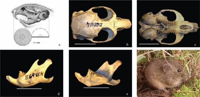 Microtus (iberomys)cabrerae_bescos et al (2014) Integrative Zoology