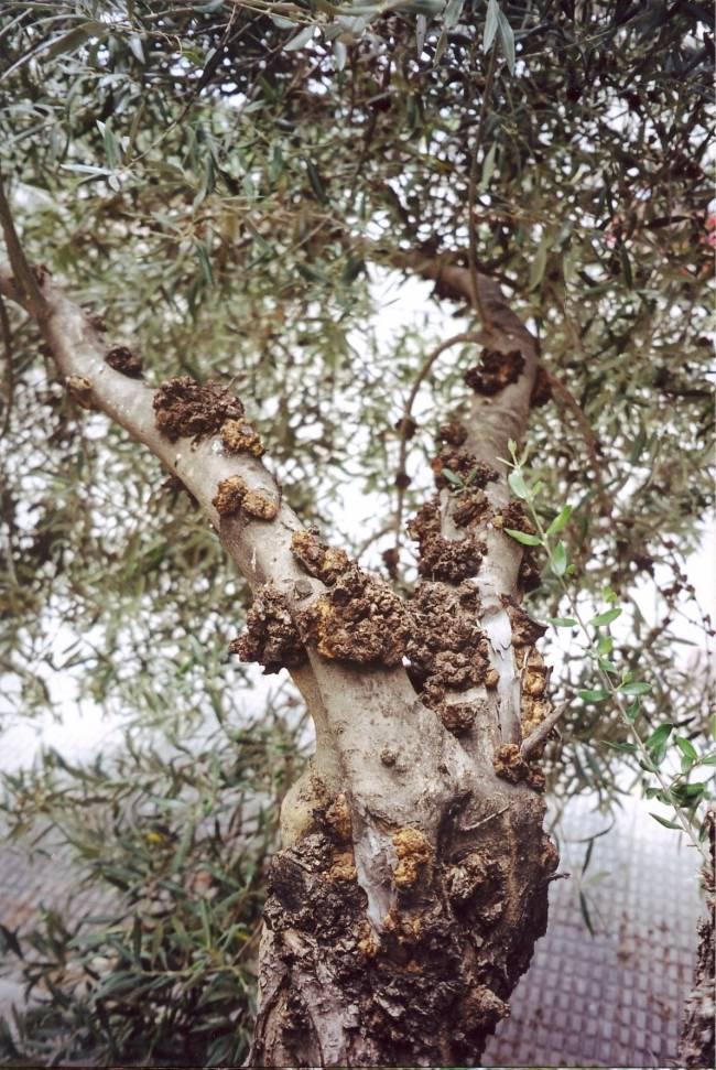 Olivo afectado por tuberculosis