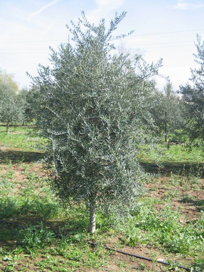 La nueva variedad de olivo es resistente al Verticillium