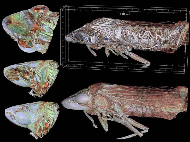 Imagen de la Homalodisca vitripennis, conocida comúnmente como 'cigarrilla de alas cristalinas', obtenida con microtomografía.