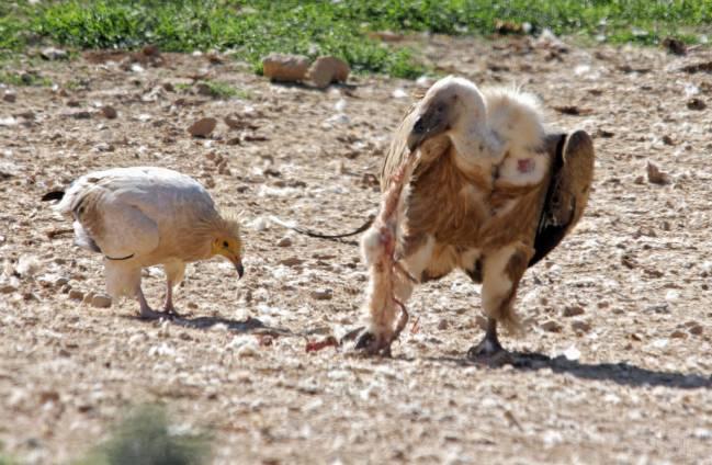 Alimoche común (izquierda) y buitre leonado (derecha). / VIC 206