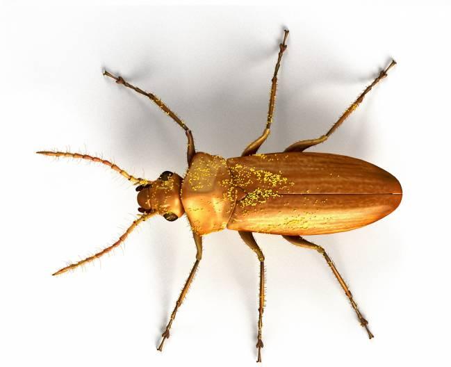 Darwinylus marcosi, un escarabajo que vivió hace 105 millones de años, seguía polinizando gimnospermas (plantas sin flor), cuando en los ecosistemas terrestres ya empezaban a abundar las angiospermas (plantas con flor). Imagen: José Antonio Peñas