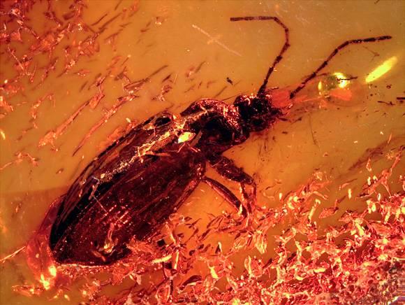 Imagen del Limodromus emetikos fosilizado en la pieza de ámbar. / Sara Gamboa.