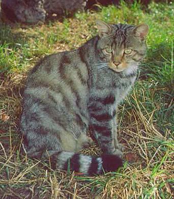 Gato montés (Felis silvestres)