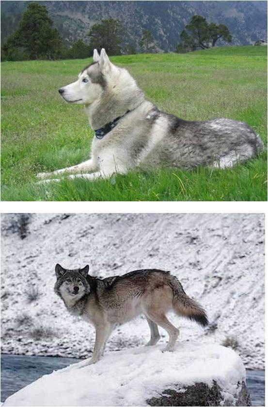 Ejemplo de husky y de lobo gris. / Óscar Ramírez.