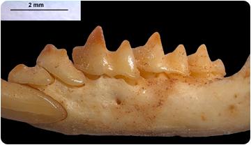 Imagen de una mandíbula de Nesiotite.
