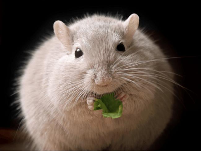 ratón gordo