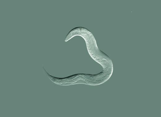 Ejemplar del gusano C.elegans. / Wikipedia