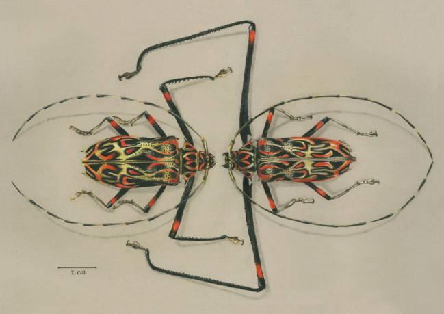 ACROCINUS LONGIMANUS MALE AND FEMALE