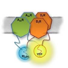 El artículo publicado constata que la estructura tetramérica del complejo formado por estos receptores permite explicar las divergencias halladas al administrar fármacos antagonistas.