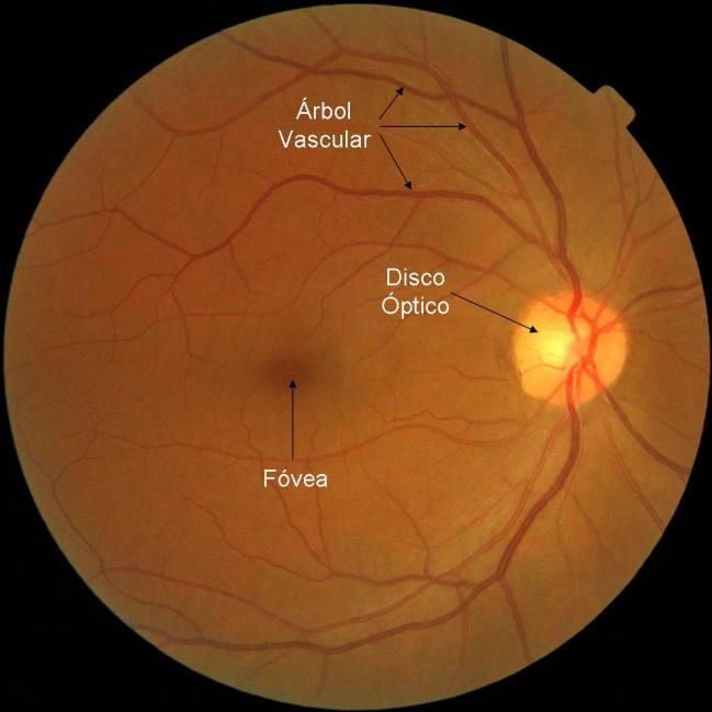 Zonas de la retina / Fundación Descubre