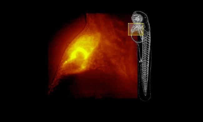 Imagen obtenida con el Qls-Scope del corazón de un pez cebra