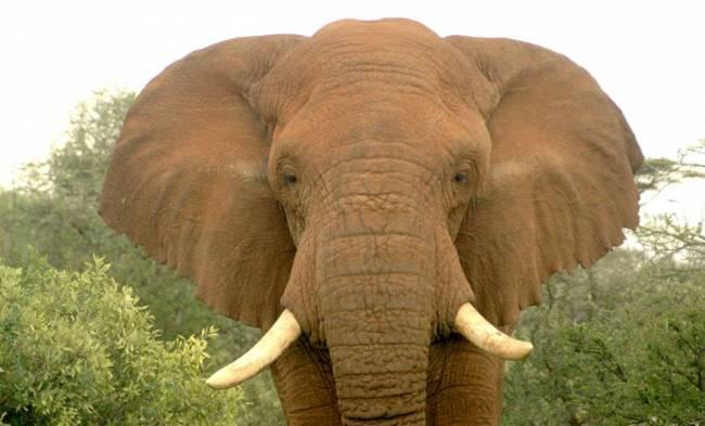 Changila, un elefante macho, entes de ser abatido por un cazador furtivo en a reserva de Samburu (Kenia). /  David Daballen