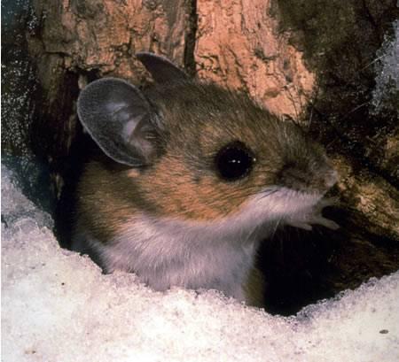 Los ratones ciervo transmiten el Hantavirus a los humanos / National Park Service.