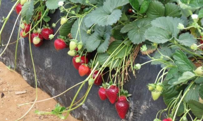 La selección de bacterias aumenta la producción y el calibre del fruto