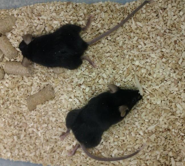 ratones deficientes en Coenzima Q.