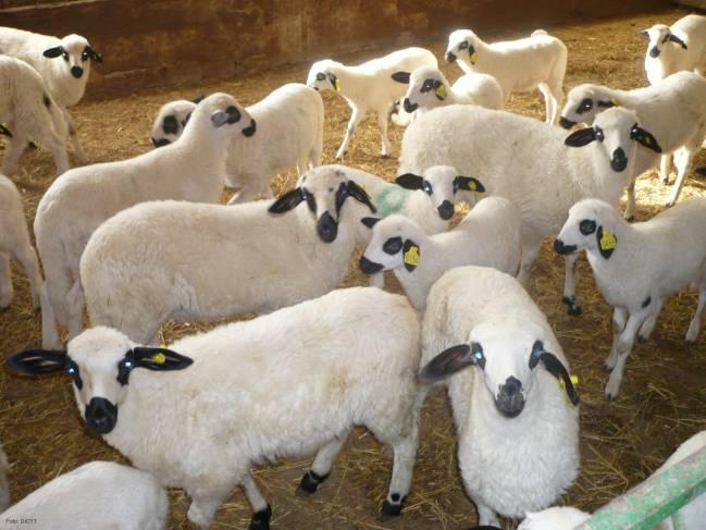 La investigación se ha llevado a cabo con ovejas de raza churra.