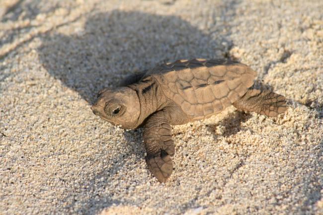 Cria de tortuga marina