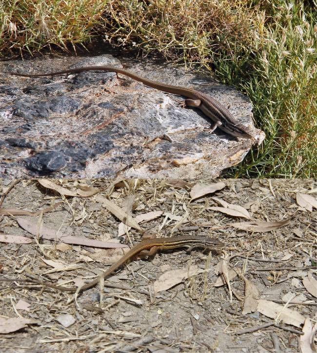 Dos ejemplares de lagartija colilarga de distinto tamaño (arriba, la que vive en cotas más altas).
