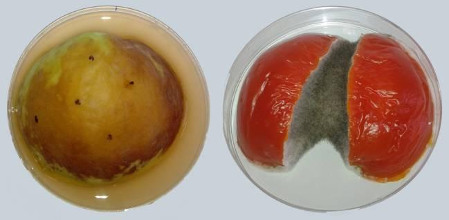 Manzana y tomate a los 5 días de infección con Alternaria alternata.