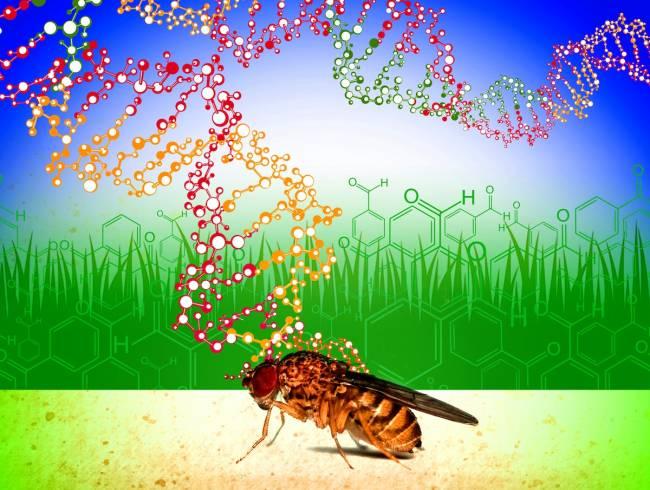 La diversidad genética presente en las poblaciones naturales de moscas de la fruta les permite adaptarse a la presencia de compuestos tóxicos ambientales. Crédito de la imagen: Roberto Torres