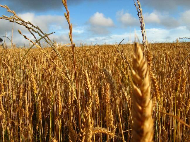 Campo de trigo, uno de los cereales que provoca celiaquía (FOTO: Valentina Estay Reyes. FLICKR).