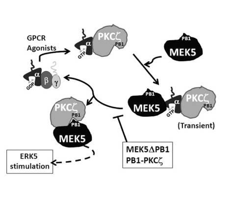 vía de señalización, ERK5, cardiovascular, quinasa, UAM