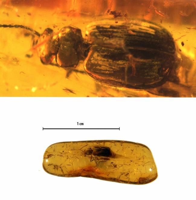 La imagen superior muestra la vista dorsal de Coptodera elektra y la inferior, la pieza de ámbar con el fósil. / Sara Gamboa.