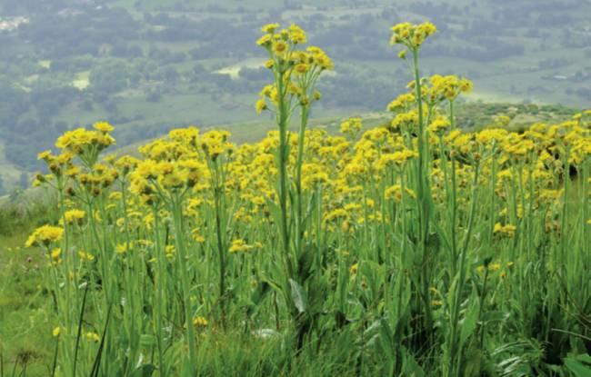 Especie vegetal Senecio coincyi. Imagen:Atlas y Libro Rojo de la Flora Vascular Amenazada de España/J.M Rubiales