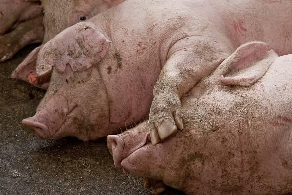 Más de un tercio de la producción ganadera de España se centra en la especie porcina. /  Alejandro Arango.