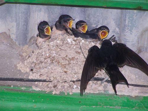 Una webcam sigue en directo un nido de golondrina en la UAM