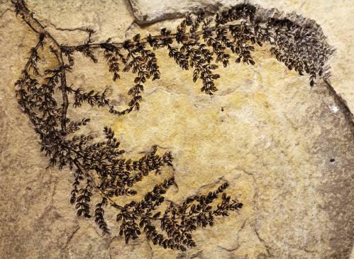Espécimen intacto y completo del fósil de Montsechia vidalii. Los fragmentos que se suelen encontrar son pequeños y parciales. / David Dilcher