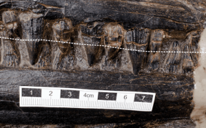 Belly 3 - Estómago de un reptil del Triásico cambia lo que sabemos de los depredadores prehistóricos