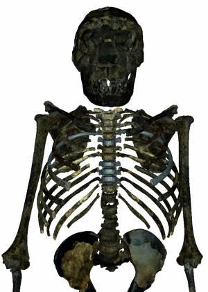 Reconstrucción del esqueleto del H.erectus juvenil de 1,5 millones de años hallado en Kenia. La caja torácica era más profunda, ancha y corta que en los humanos modernos, lo que sugiere una forma corporal más robusta y un volumen pulmonar mayor. /  Markus Bastir
